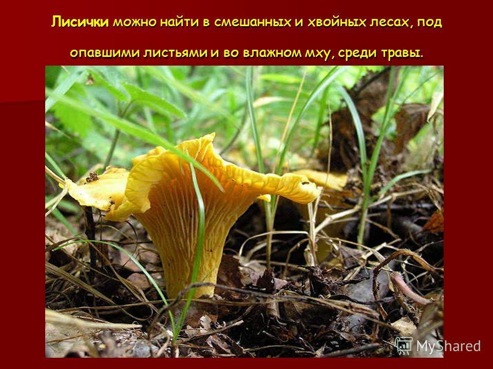 Лисички можно найти в смешанных и хвойных лесах, под опавшими листьями и во влажном мху, среди травы.