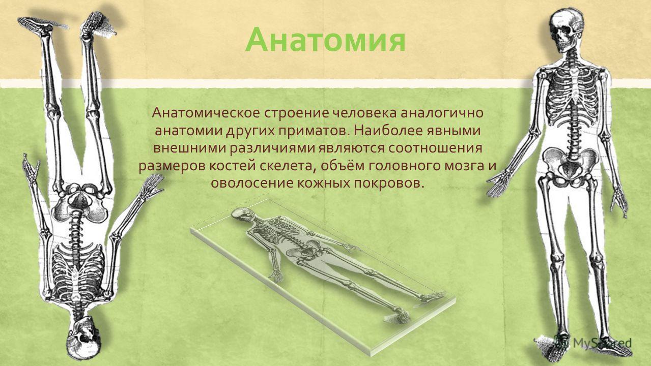 Анатомия Анатомическое строение человека аналогично анатомии других приматов. Наиболее явными внешними различиями являются соотношения размеров костей скелета, объём головного мозга и оволосение кожных покровов.