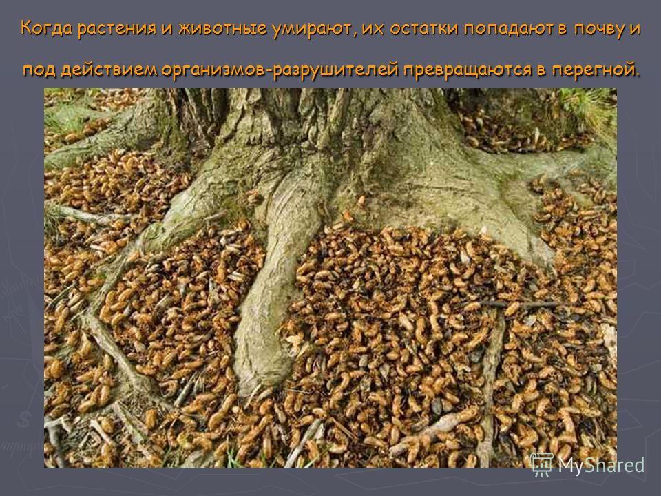 Когда растения и животные умирают, их остатки попадают в почву и под действием организмов-разрушителей превращаются в перегной.