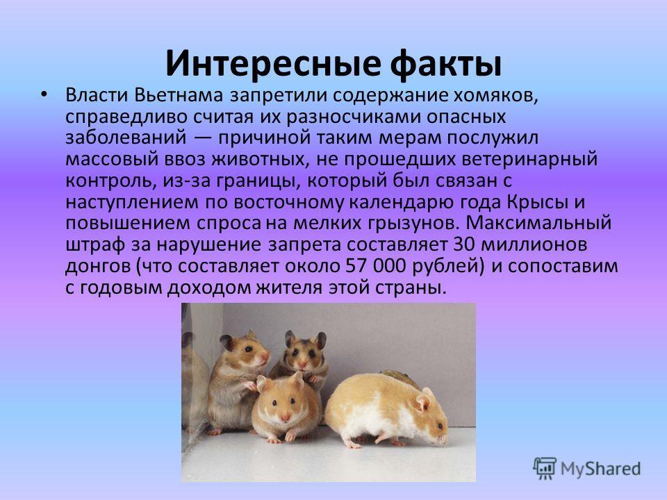 Интересные факты Власти Вьетнама запретили содержание хомяков, справедливо считая их разносчиками опасных заболеваний причиной таким мерам послужил массовый ввоз животных, не прошедших ветеринарный контроль, из-за границы, который был связан с наступ