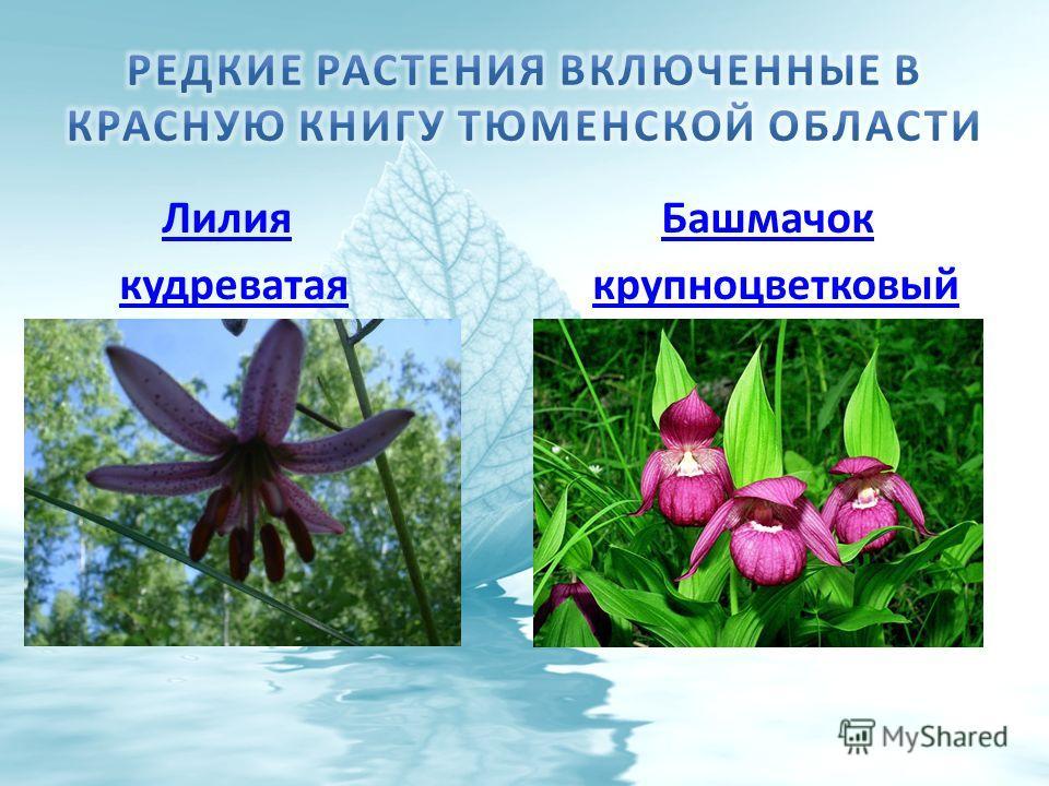 Лилия БашмачокЛилияБашмачок кудреватая крупноцветковыйкудреватаякрупноцветковый