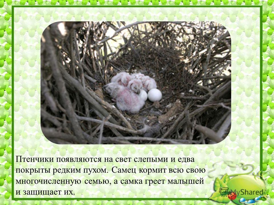 Птенчики появляются на свет слепыми и едва покрыты редким пухом. Самец кормит всю свою многочисленную семью, а самка греет малышей и защищает их.