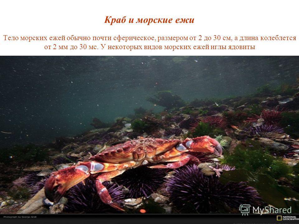 Краб и морские ежи Тело морских ежей обычно почти сферическое, размером от 2 до 30 см, а длина колеблется от 2 мм до 30 мс. У некоторых видов морских ежей иглы ядовиты