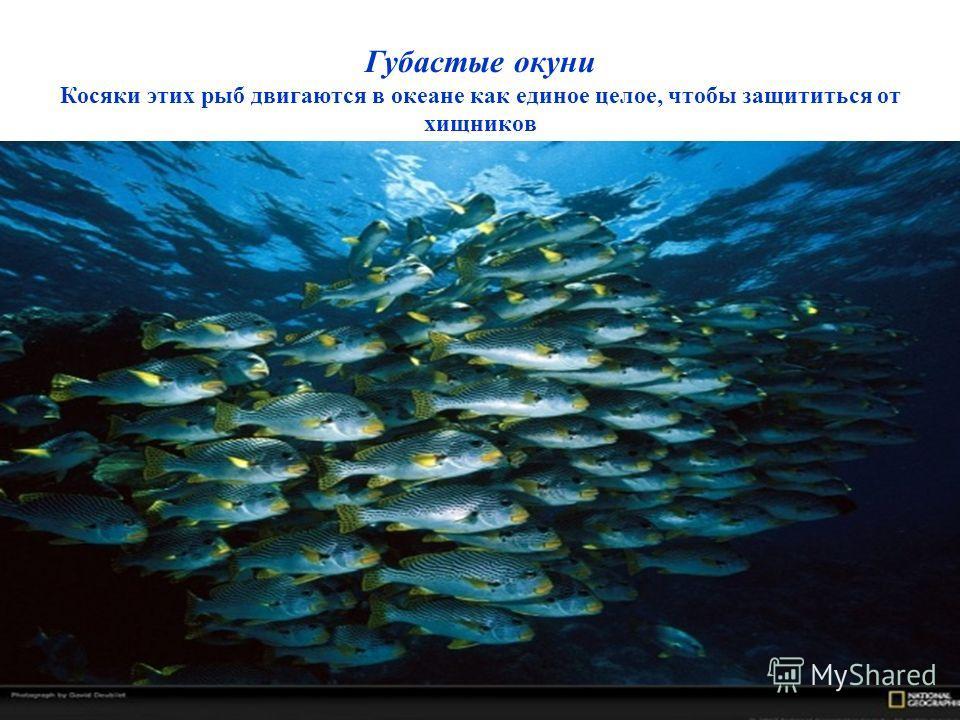 Губастые окуни Косяки этих рыб двигаются в океане как единое целое, чтобы защититься от хищников