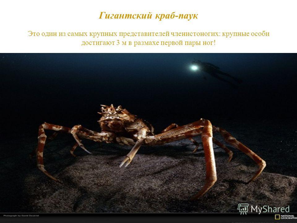 Гигантский краб-паук Это один из самых крупных представителей членистоногих: крупные особи достигают 3 м в размахе первой пары ног!