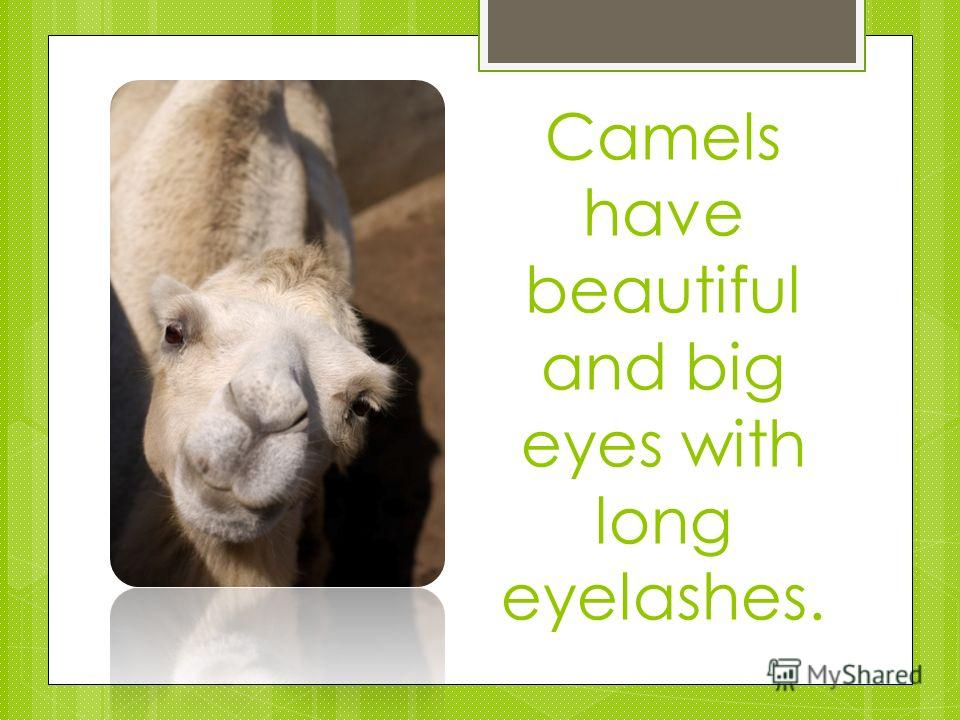 Camels have beautiful and big eyes with long eyelashes.