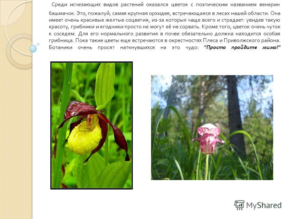 Среди исчезающих видов растений оказался цветок с поэтическим названием венерин башмачок. Это, пожалуй, самая крупная орхидея, встречающаяся в лесах нашей области. Она имеет очень красивые желтые соцветия, из - за которых чаще всего и страдает : увид