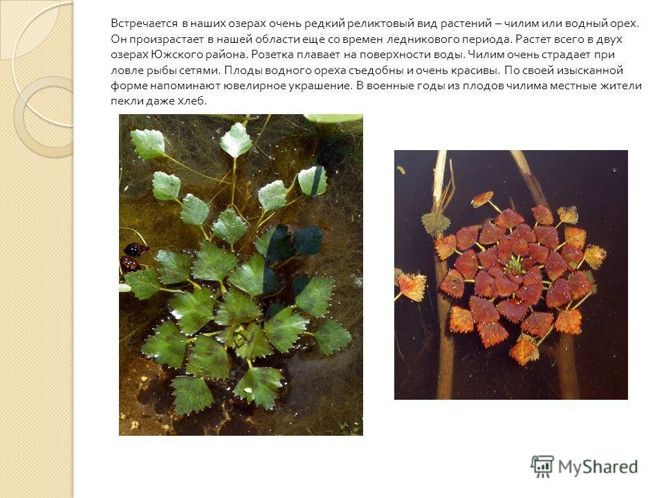 Встречается в наших озерах очень редкий реликтовый вид растений – чилим или водный орех. Он произрастает в нашей области еще со времен ледникового периода. Растет всего в двух озерах Южского района. Розетка плавает на поверхности воды. Чилим очень ст