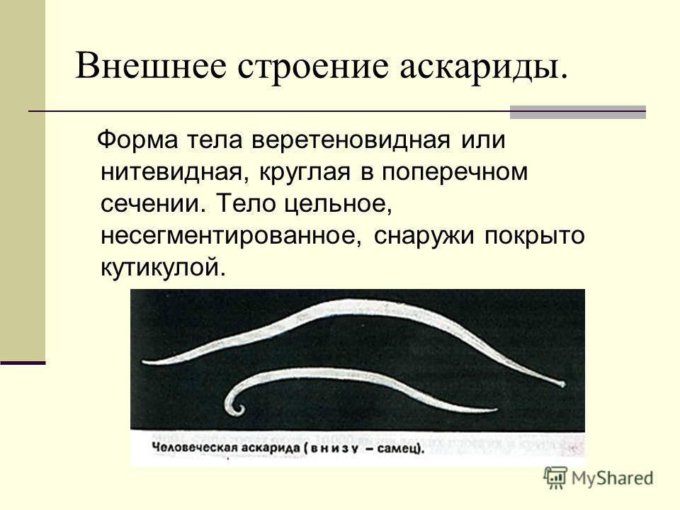 Внешнее строение аскариды. Форма тела веретеновидная или нитевидная, круглая в поперечном сечении. Тело цельное, несегментированное, снаружи покрыто кутикулой.