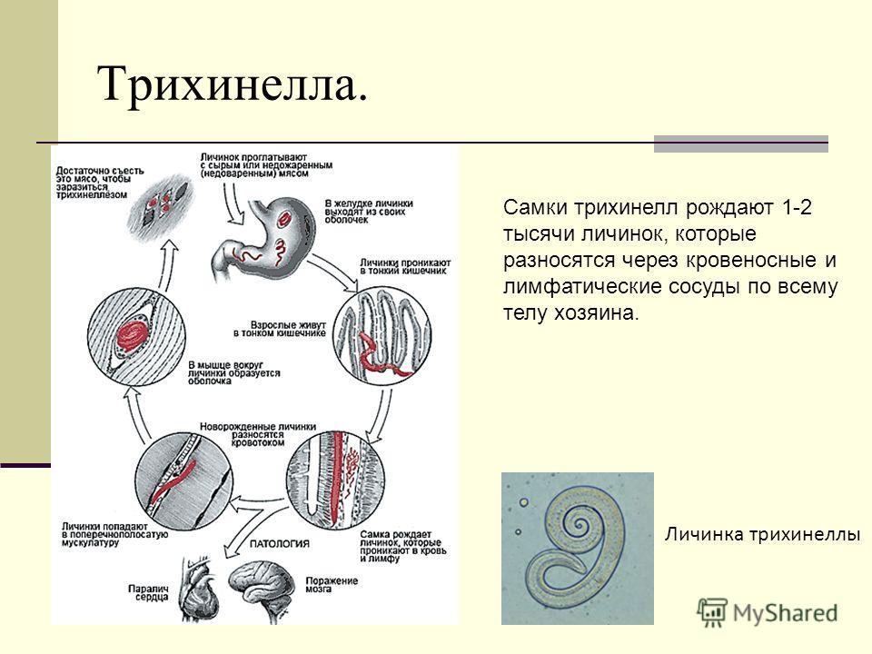 Трихинелла. Самки трихинелл рождают 1-2 тысячи личинок, которые разносятся через кровеносные и лимфатические сосуды по всему телу хозяина. Личинка трихинеллы
