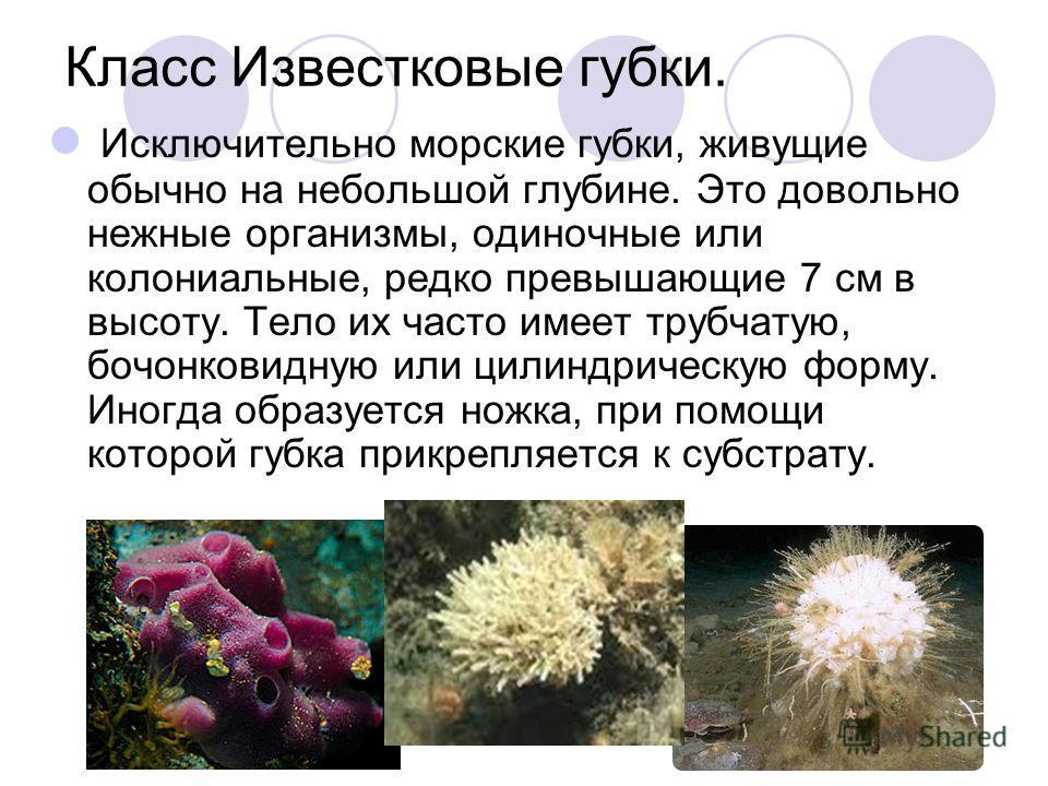 Класс Известковые губки. Исключительно морские губки, живущие обычно на небольшой глубине. Это довольно нежные организмы, одиночные или колониальные, редко превышающие 7 см в высоту. Тело их часто имеет трубчатую, бочонковидную или цилиндрическую фор