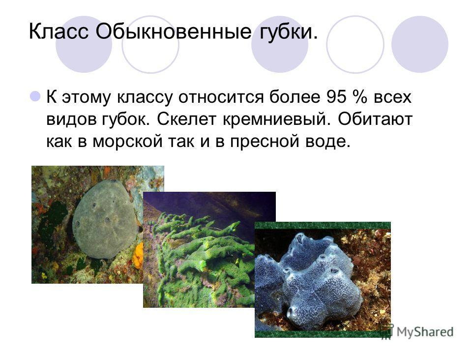 Класс Обыкновенные губки. К этому классу относится более 95 % всех видов губок. Скелет кремниевый. Обитают как в морской так и в пресной воде.