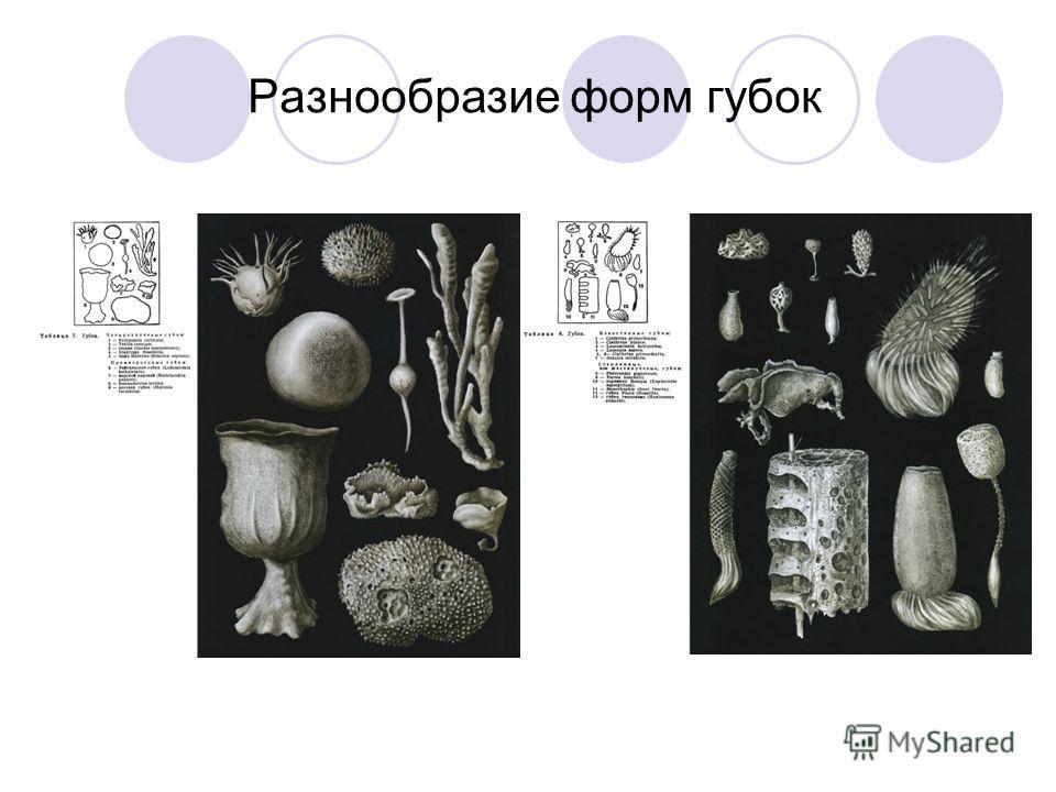 Разнообразие форм губок