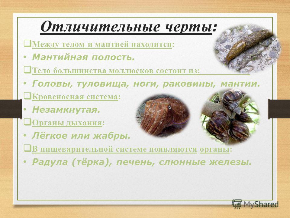 Между телом и мантией находится: Мантийная полость. Тело большинства моллюсков состоит из: Головы, туловища, ноги, раковины, мантии. Кровеносная система: Незамкнутая. Органы дыхания: Лёгкое или жабры. В пищеварительной системе появляются органы: Раду