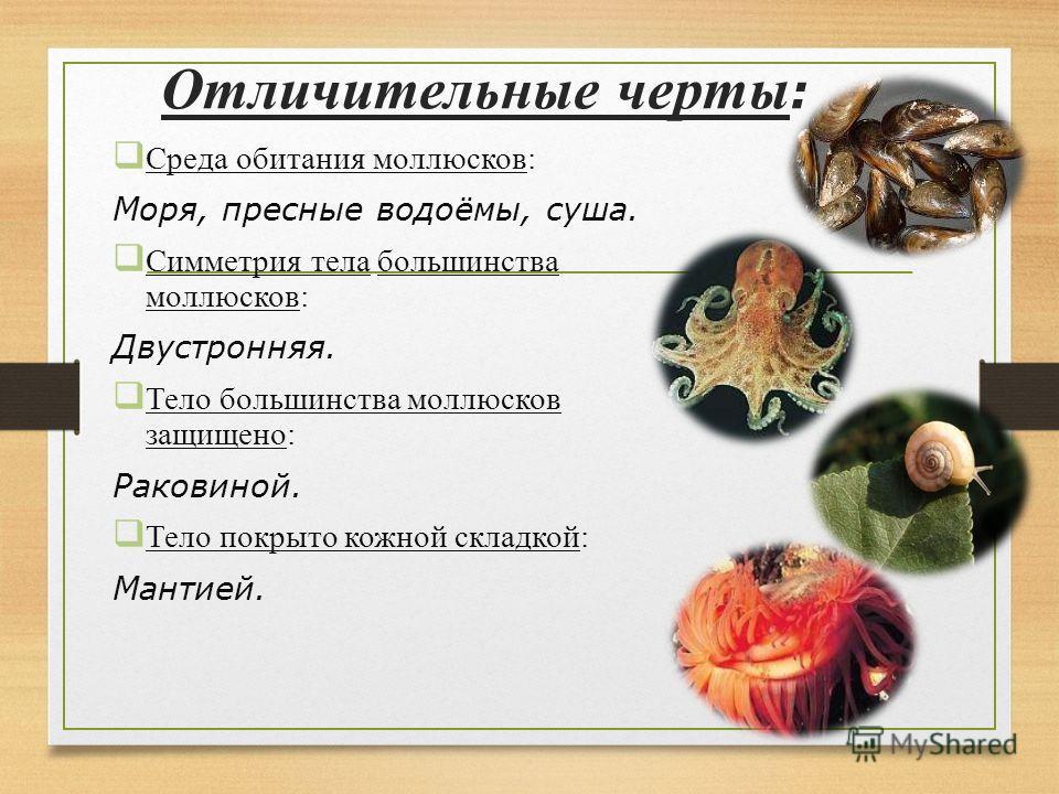 Отличительные черты : Среда обитания моллюсков: Моря, пресные водоёмы, суша. Симметрия тела большинства моллюсков: Двустронняя. Тело большинства моллюсков защищено: Раковиной. Тело покрыто кожной складкой: Мантией.