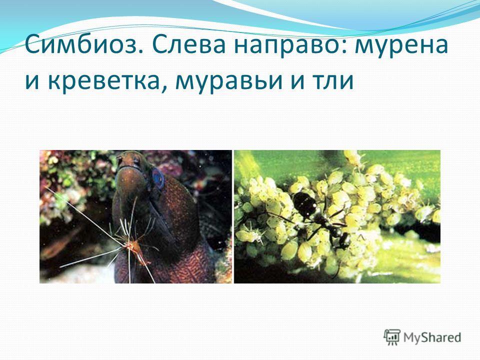 Симбиоз. Слева направо: мурена и креветка, муравьи и тли