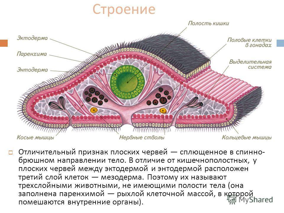 Строение Отличительный признак плоских червей сплющенное в спинно - брюшном направлении тело. В отличие от кишечнополостных, у плоских червей между эктодермой и энтодермой расположен третий слой клеток мезодерма. Поэтому их называют трехслойными живо
