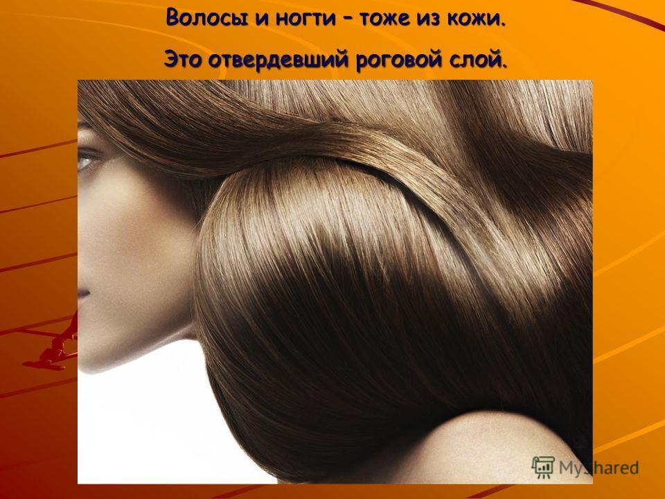 Волосы и ногти – тоже из кожи. Это отвердевший роговой слой.
