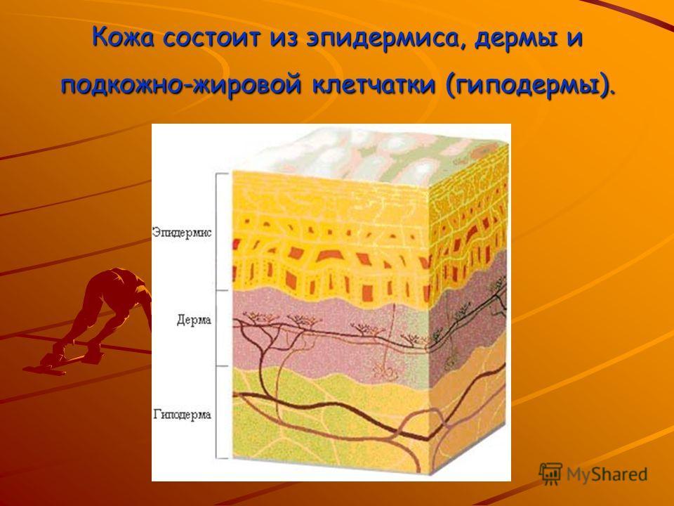 Кожа состоит из эпидермиса, дермы и подкожно-жировой клетчатки (гиподермы).