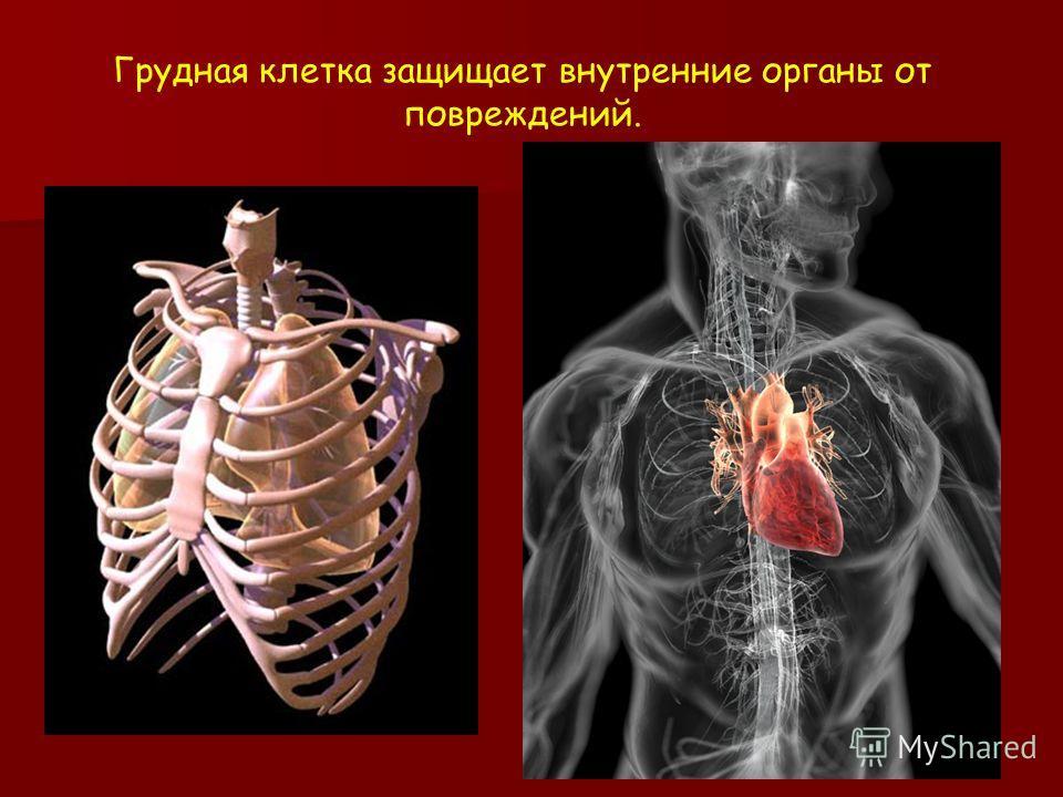 Грудная клетка защищает внутренние органы от повреждений.