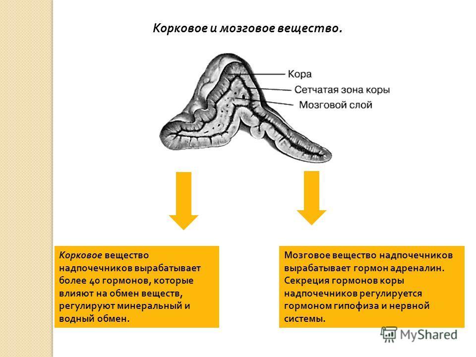 Корковое вещество надпочечников вырабатывает более 40 гормонов, которые влияют на обмен веществ, регулируют минеральный и водный обмен. Мозговое вещество надпочечников вырабатывает гормон адреналин. Секреция гормонов коры надпочечников регулируется г