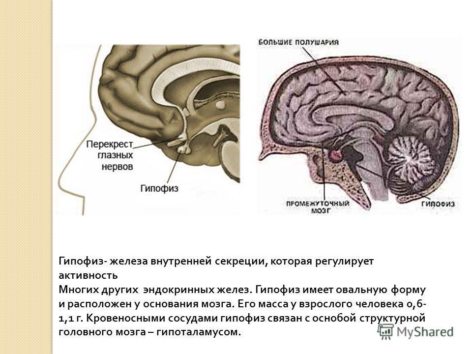 Гипофиз - железа внутренней секреции, которая регулирует активность Многих других эндокринных желез. Гипофиз имеет овальную форму и расположен у основания мозга. Его масса у взрослого человека 0,6- 1,1 г. Кровеносными сосудами гипофиз связан с оснобо