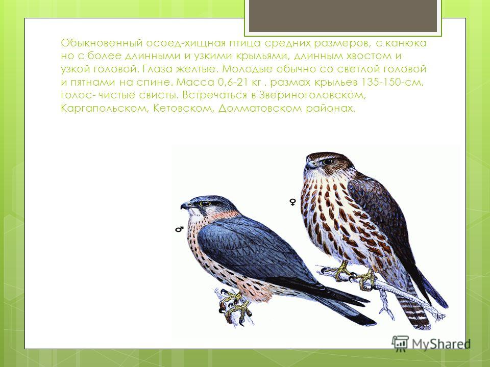 Обыкновенный осоед-хищная птица средних размеров, с канюка но с более длинными и узкими крыльями, длинным хвостом и узкой головой. Глаза желтые. Молодые обычно со светлой головой и пятнами на спине. Масса 0,6-21 кг. размах крыльев 135-150-см. голос-