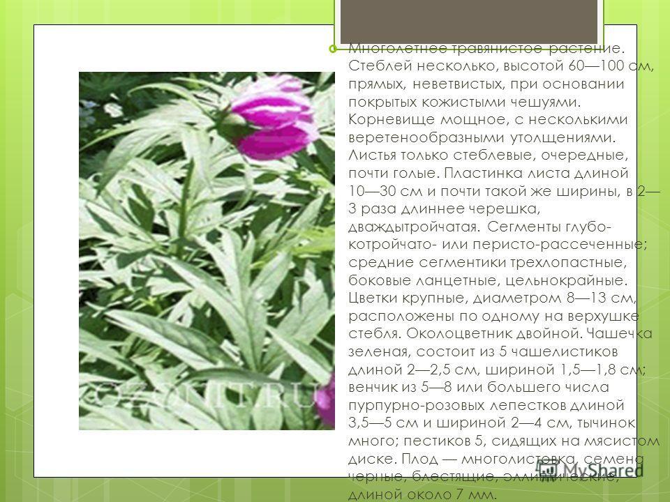 Многолетнее травянистое растение. Стеблей несколько, высотой 60100 см, прямых, неветвистых, при основании покрытых кожистыми чешуями. Корневище мощное, с несколькими веретенообразными утолщениями. Листья только стеблевые, очередные, почти голые. Плас