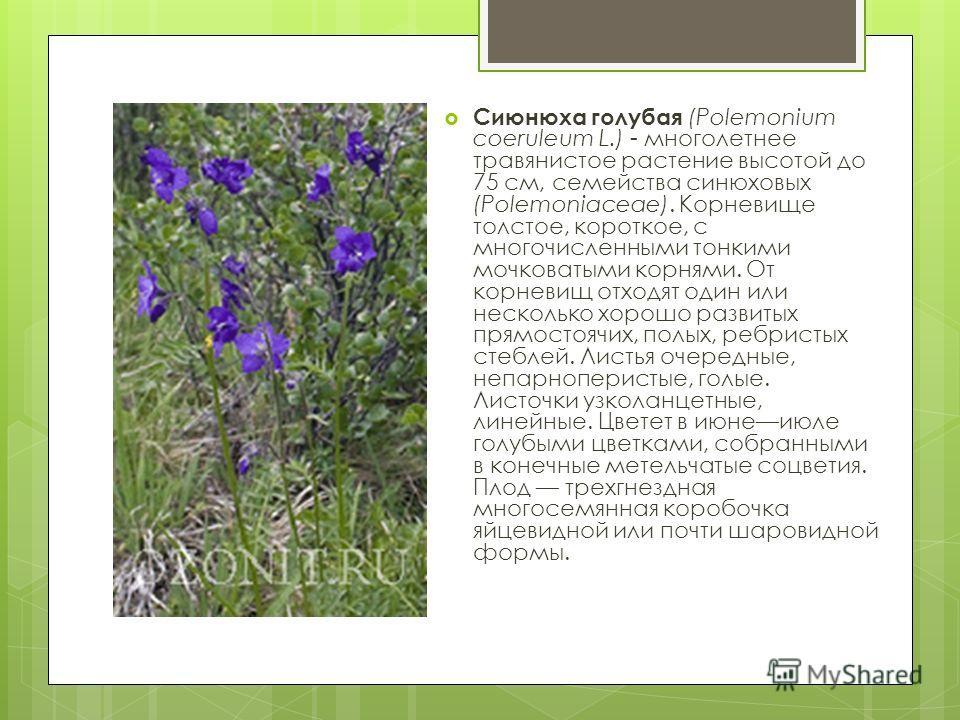 Сиюнюха голубая (Polemonium coeruleum L.) - многолетнее травянистое растение высотой до 75 см, семейства синюховых (Polemoniaceae). Корневище толстое, короткое, с многочисленными тонкими мочковатыми корнями. От корневищ отходят один или несколько хор