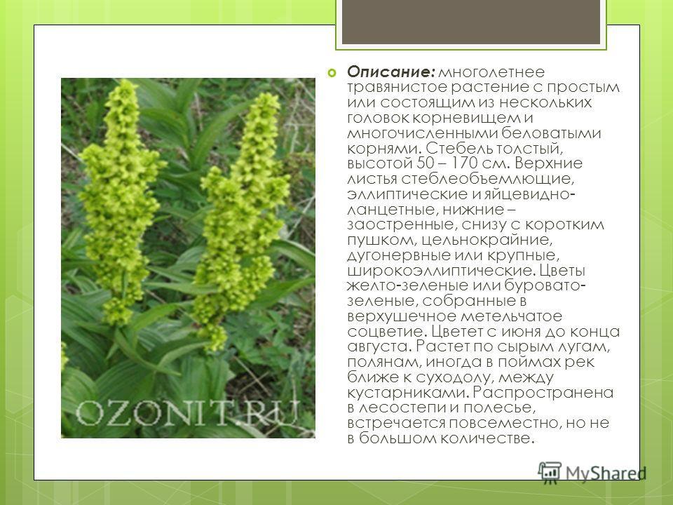 Описание: многолетнее травянистое растение с простым или состоящим из нескольких головок корневищем и многочисленными беловатыми корнями. Стебель толстый, высотой 50 – 170 см. Верхние листья стеблеобъемлющие, эллиптические и яйцевидно- ланцетные, ниж