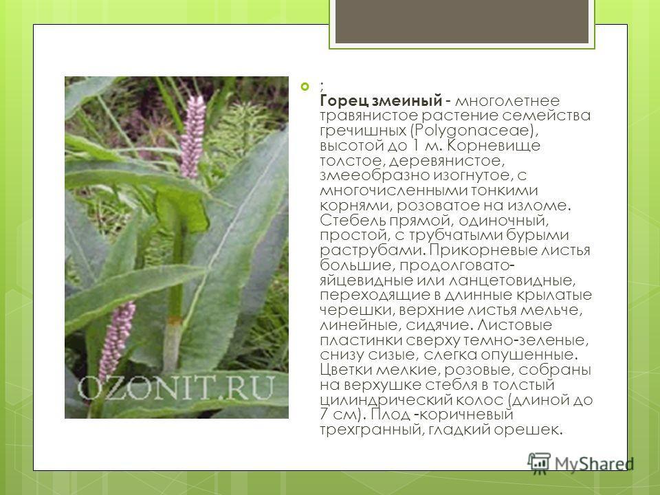 ; Горец змеиный - многолетнее травянистое растение семейства гречишных (Polygonaceae), высотой до 1 м. Корневище толстое, деревянистое, змееобразно изогнутое, с многочисленными тонкими корнями, розоватое на изломе. Стебель прямой, одиночный, простой,