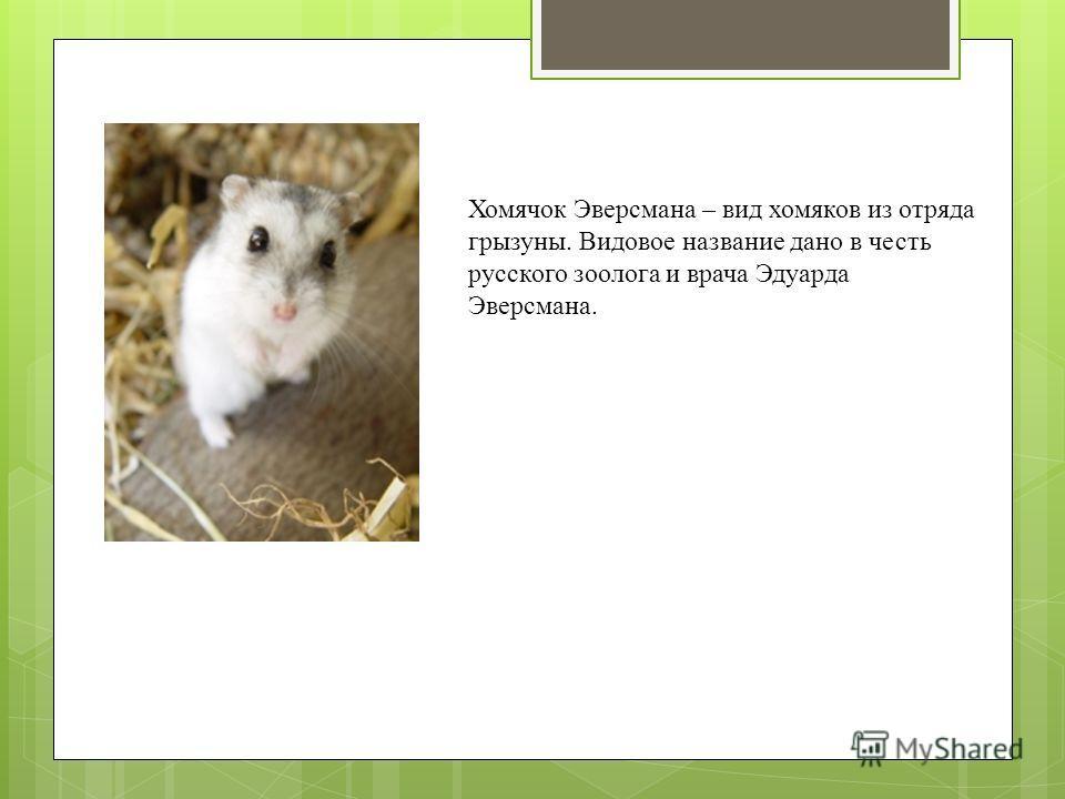 Хомячок Эверсмана – вид хомяков из отряда грызуны. Видовое название дано в честь русского зоолога и врача Эдуарда Эверсмана.