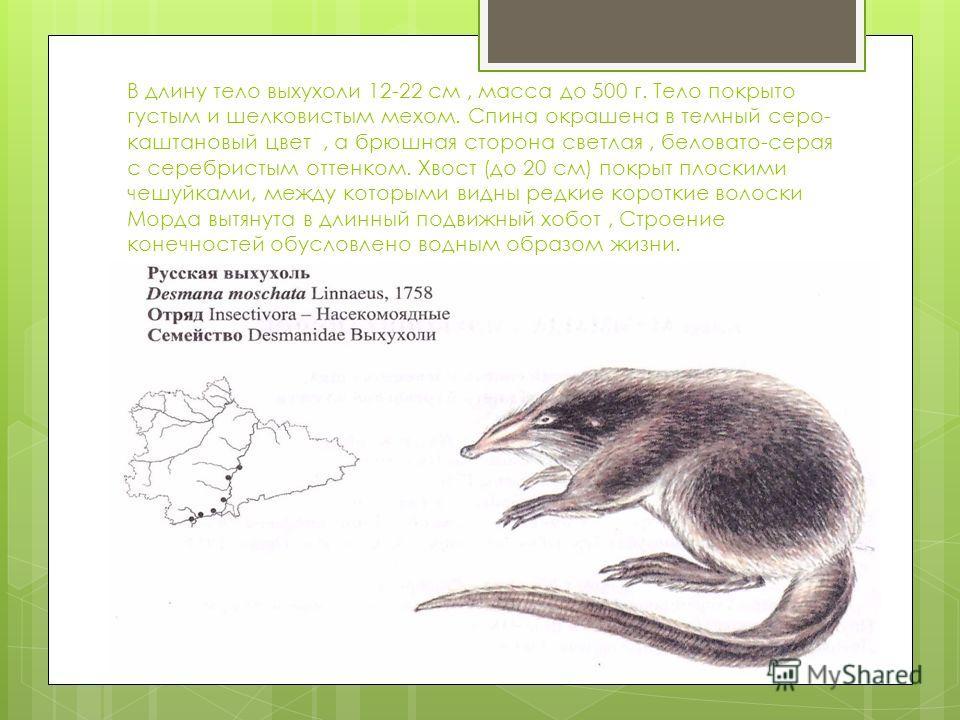 В длину тело выхухоли 12-22 см, масса до 500 г. Тело покрыто густым и шелковистым мехом. Спина окрашена в темный серо- каштановый цвет, а брюшная сторона светлая, беловато-серая с серебристым оттенком. Хвост (до 20 см) покрыт плоскими чешуйками, межд