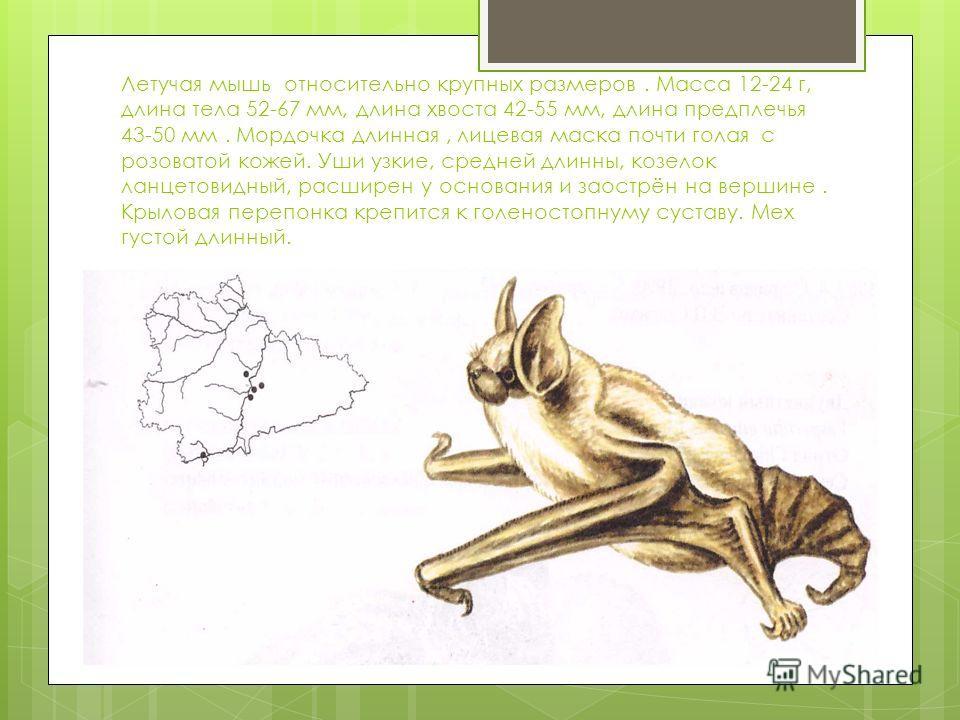 Летучая мышь относительно крупных размеров. Масса 12-24 г, длина тела 52-67 мм, длина хвоста 42-55 мм, длина предплечья 43-50 мм. Мордочка длинная, лицевая маска почти голая с розоватой кожей. Уши узкие, средней длинны, козелок ланцетовидный, расшире