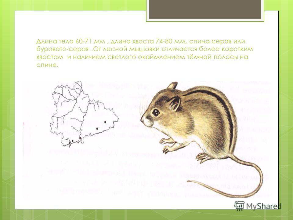 Длина тела 60-71 мм, длина хвоста 74-80 мм, спина серая или буровато-серая.От лесной мышовки отличается более коротким хвостом и наличием светлого окаймлением тёмной полосы на спине.