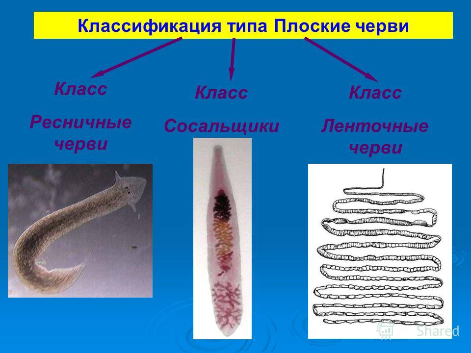 Классификация плоских червей