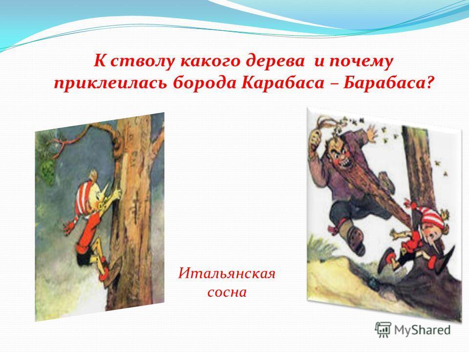 К стволу какого дерева и почему приклеилась борода Карабаса – Барабаса? Итальянская сосна