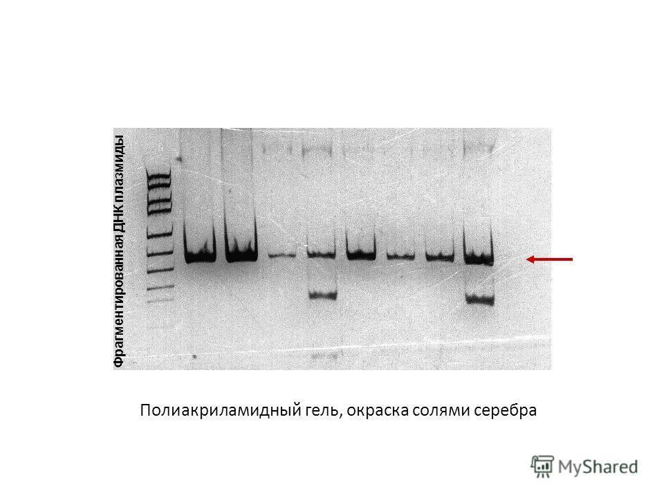 Полиакриламидный гель, окраска солями серебра Фрагментированная ДНК плазмиды