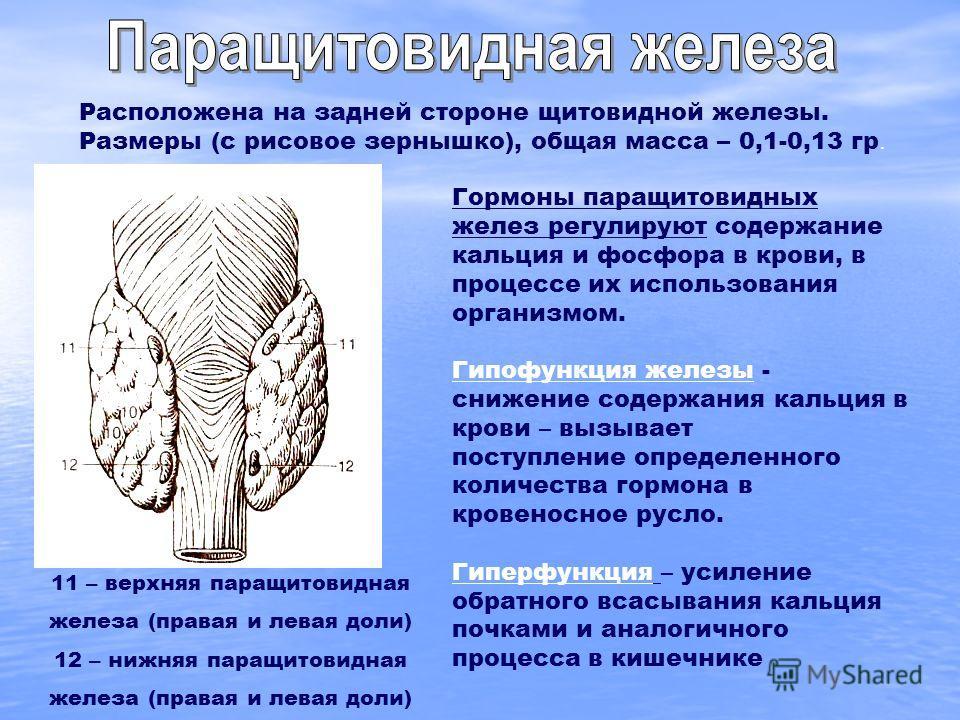 11 – верхняя паращитовидная железа (правая и левая доли) 12 – нижняя паращитовидная железа (правая и левая доли) Расположена на задней стороне щитовидной железы. Размеры (с рисовое зернышко), общая масса – 0,1-0,13 гр. Гормоны паращитовидных желез ре