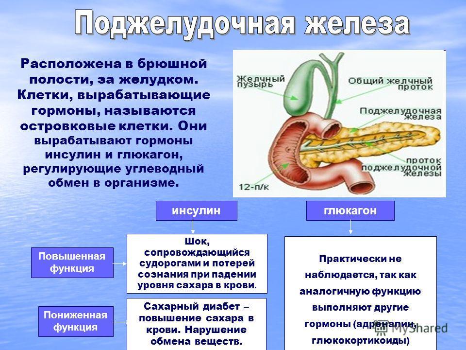 Расположена в брюшной полости, за желудком. Клетки, вырабатывающие гормоны, называются островковые клетки. Они вырабатывают гормоны инсулин и глюкагон, регулирующие углеводный обмен в организме. Повышенная функция Пониженная функция Шок, сопровождающ