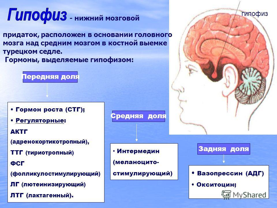 гипофиз - нижний мозговой придаток, расположен в основании головного мозга над средним мозгом в костной выемке турецком седле. Гормоны, выделяемые гипофизом: Передняя доля Гормон роста (СТГ); Регуляторные: АКТГ (адренокортикотропный), ТТГ (тириотропн