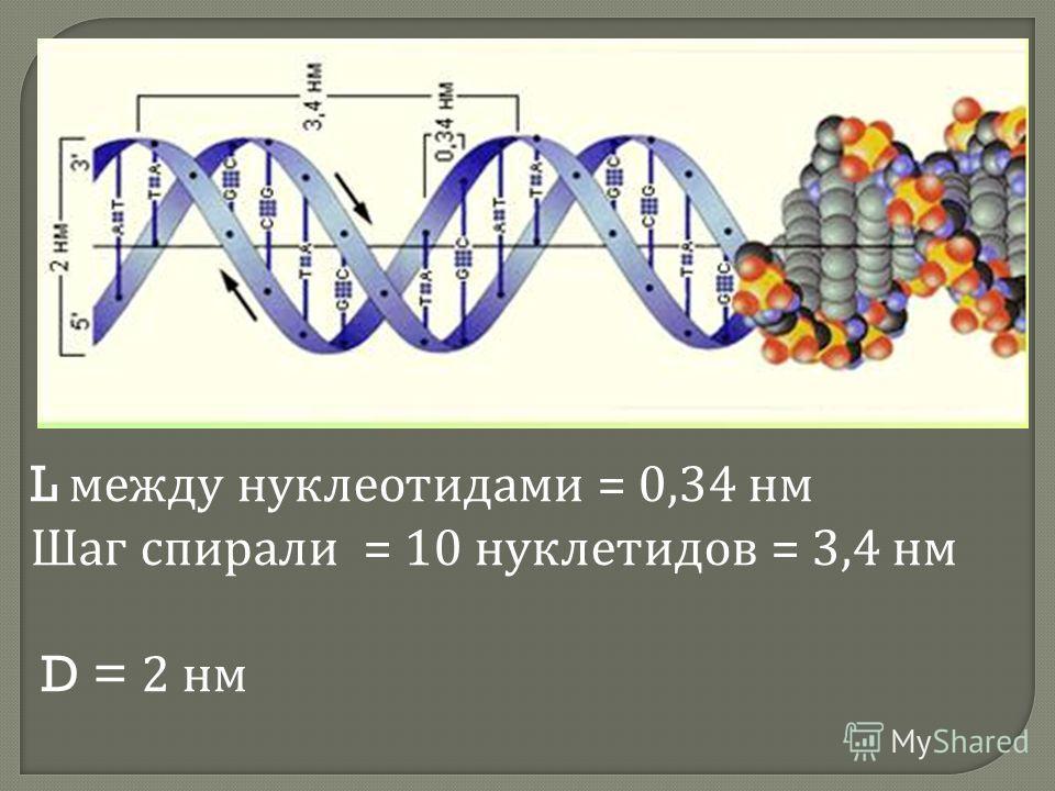 L между нуклеотидами = 0,34 нм Шаг спирали = 10 нуклетидов = 3,4 нм D = 2 нм