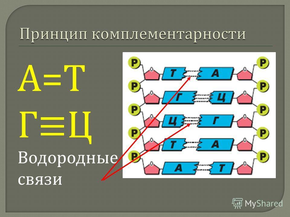 А=ТА=Т Г Ц Водородные связи