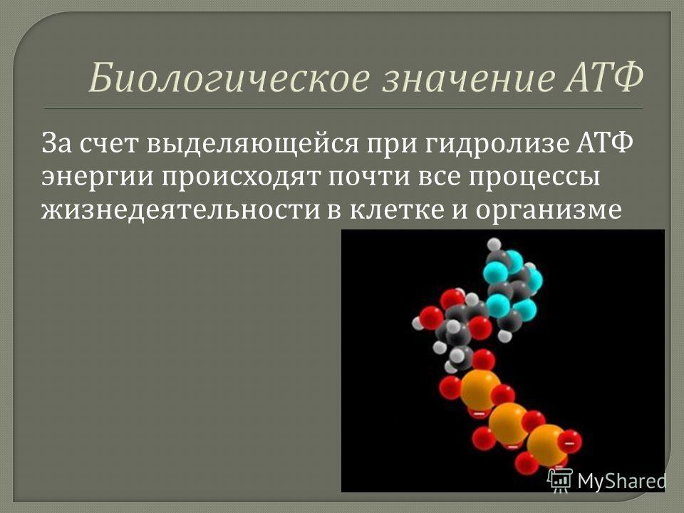 За счет выделяющейся при гидролизе АТФ энергии происходят почти все процессы жизнедеятельности в клетке и организме