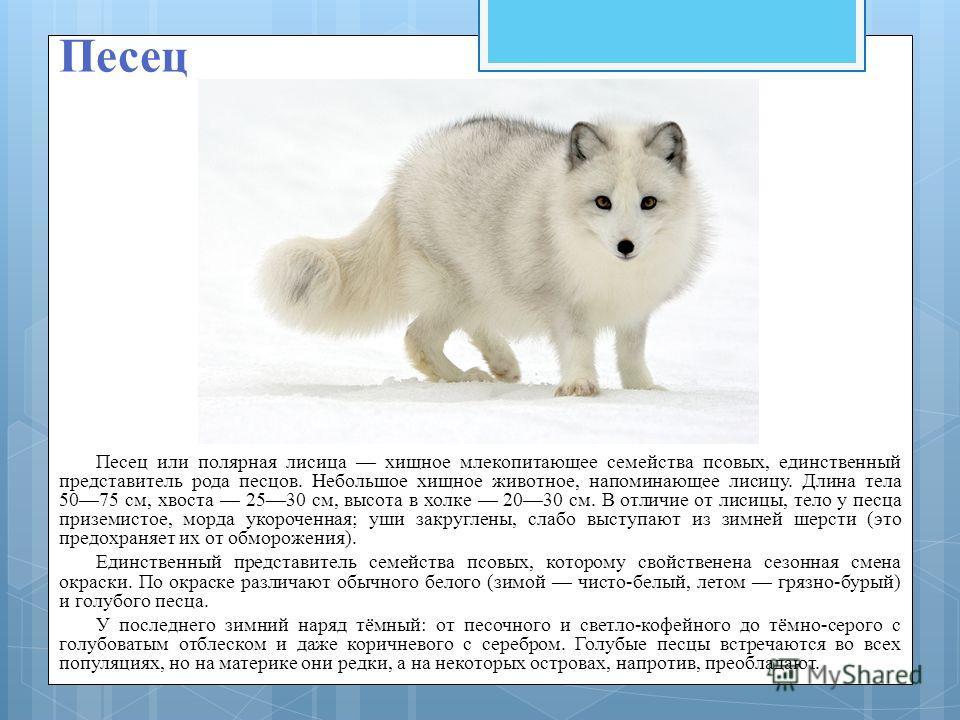 Песец Песец или полярная лисица хищное млекопитающее семейства псовых, единственный представитель рода песцов. Небольшое хищное животное, напоминающее лисицу. Длина тела 5075 см, хвоста 2530 см, высота в холке 2030 см. В отличие от лисицы, тело у пес