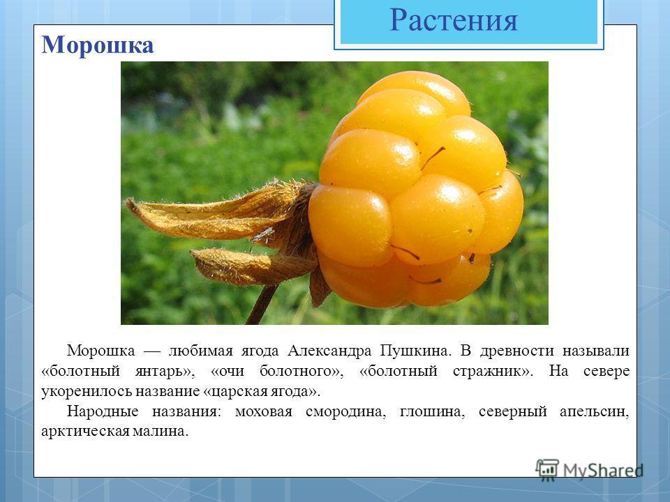 Растения Морошка Морошка любимая ягода Александра Пушкина. В древности называли «болотный янтарь», «очи болотного», «болотный стражник». На севере укоренилось название «царская ягода». Народные названия: моховая смородина, глошина, северный апельсин,