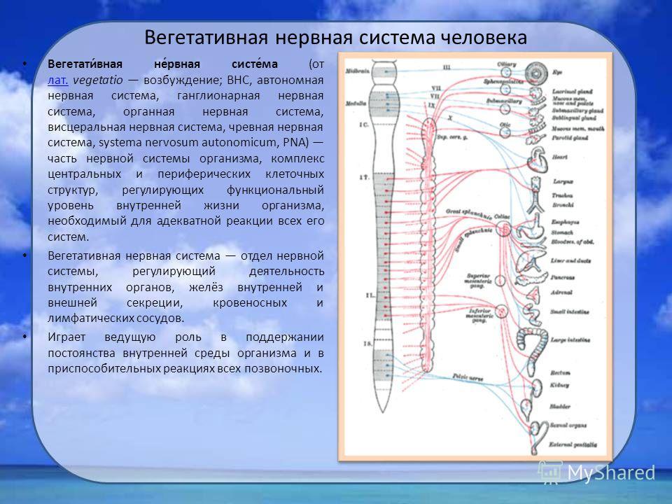 Вегетативная нервная система человека Вегетати́вная не́рвная систе́ма (от лат. vegetatio возбуждение; ВНС, автономная нервная система, ганглионарная нервная система, органная нервная система, висцеральная нервная система, чревная нервная система, sys