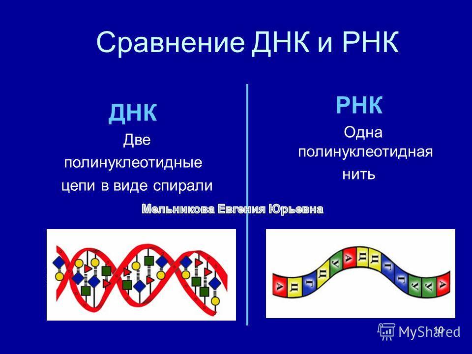 10 Сравнение ДНК и РНК ДНК Две полинуклеотидные цепи в виде спирали РНК Одна полинуклеотидная нить