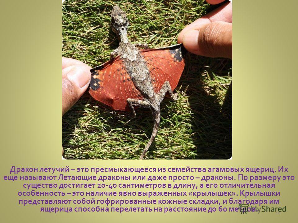 Дракон летучий – это пресмыкающееся из семейства агамовых ящериц. Их еще называют Летающие драконы или даже просто – драконы. По размеру это существо достигает 20-40 сантиметров в длину, а его отличительная особенность – это наличие явно выраженных «