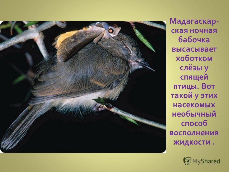 Мадагаскар- ская ночная бабочка высасывает хоботком слёзы у спящей птицы. Вот такой у этих насекомых необычный способ восполнения жидкости. 12